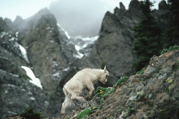 Mountain goat kid climbing rocky ridge, Pacific N.W.