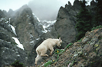 Mountain goat kid climbing rocky ridge, Pacific N.W.