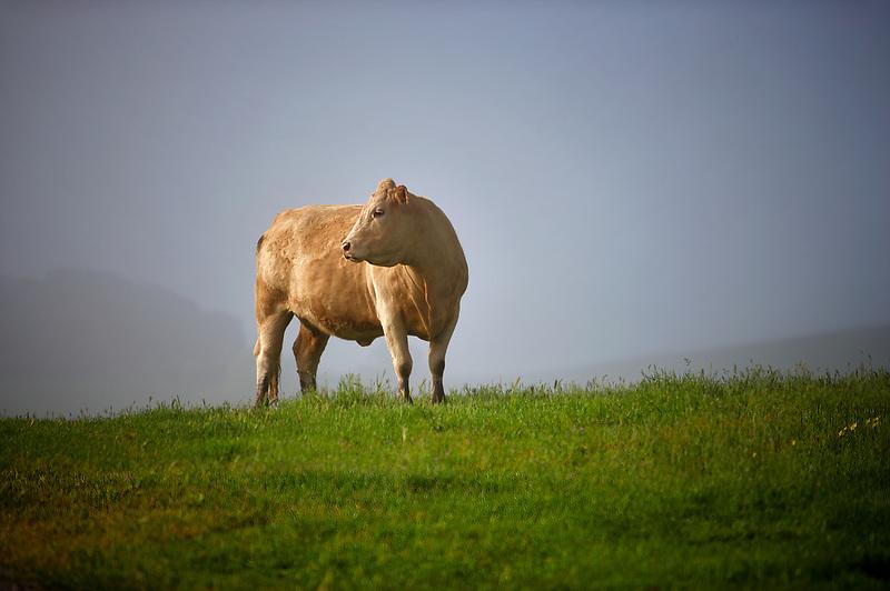 Charlet bull in pasture. Mendocino County. California