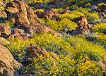 Anza-Borrego Desert State Park, CA: Flowering brittlebush (Encelia farinosa) nestled against sandstone boulders in Glorieta Canyon