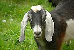 Steam Valley Fiber Farm. Nubian goat
