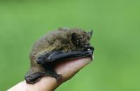 Zwergfledermaus auf Finger, Zwerg-Fledermaus, Pipistrellus pipistrellus, Common pipistrelle, Pipistrelle commune