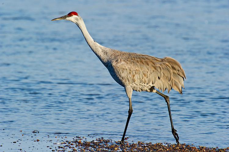 Sandhill Crane walking along the Platte River, NE