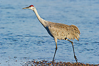 Sandhill Crane walking along the Platte River, NE