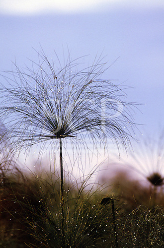 Lulimala, Zambia. Papyrus - Cyperus papyrus - growing in boggy ground in the Bangwelu swamps.