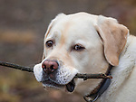Yellow labrador head and shoulder with stick.