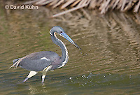 0830-0903  Tricolored Heron Wading in Marsh, Striking Water for Prey, Louisiana Heron, Egretta tricolor © David Kuhn/Dwight Kuhn Photography