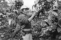 - Nicaragua, coffee harvest in a plantation north of Jinotega <br /> <br /> - Nicaragua, raccolta del caffè in una piantagione a nord di Jinotega