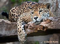 0522-1115  Goldman's Jaguar, Belize, Panthera onca goldmani  © David Kuhn/Dwight Kuhn Photography