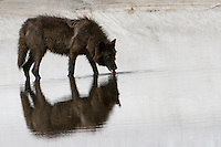 A younger member of Yellowstone's Canyon pack savors a cool drink at the edge of a melting snowfield.