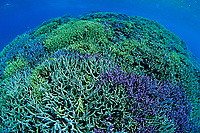 coral reef, hard coral, colorful, Ishigaki-jima island, Ryukyu Islands, Okinawa, Pacific Ocean