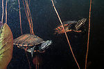 Plymouth red-bellied cooter swimming in Burrage pond, Hanson, Massachusetts, 2 shot