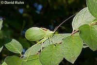 0815-0908  Common True Katydid (Northern True Katydid), Pterophylla camellifolia © David Kuhn/Dwight Kuhn Photography