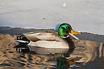 Quacking Mallard Drake in early spring at the edge of an iced over shore line