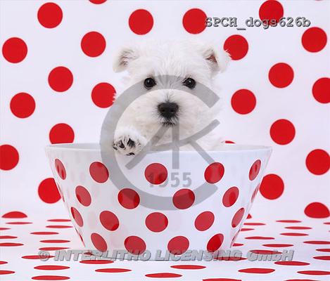 Xavier, ANIMALS, dogs, photos(SPCHdogs626b,#A#) Hunde, perros