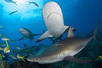 Caribbean Reef Shark, Carcharhinus perezii, Bahamas, Caribbean Sea.