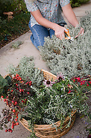 Gathering Santolina for basket of freshly harvested herbs (rosehips, rosemary, lavender cotton, Echinacea) in garden