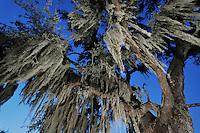 Spanish moss (Tillandsia usneoides), growing on Live Oak tree (Quercus virginiana), Dinero, Lake Corpus Christi, South Texas, USA