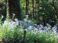 Stock photo: Plenty of white gerbera daisy flowers grown under a tree in Gibbs garden, Georgia USA.