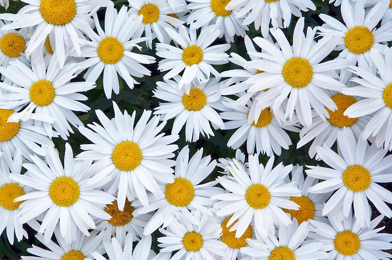 Daisies. Oregon Garden. Oregon