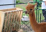 Alpaca at Cheshire Fair in Swanzey, New Hampshsire USA
