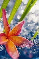 Rain falls on a colorful plumeria flower in a pond on O'ahu.