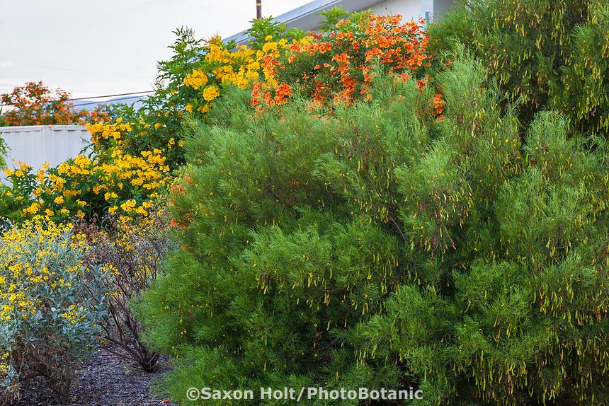 Senna nemophila - Desert Senna, Desert Cassia; Australian shrub; South Coast Research and Extension Center; University of California ANR