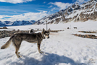 We visited a dog-mushing camp on a glacier in the Tordrillo Mountains of Alaska.  In the summer they work the sled dogs up here.  This is Bailey, a lovely Alaskan Husky.  Alaskan Huskies have historically participated in the Iditarod Race, a long-distance sled race that runs in early March each year.  In 1925, an outbreak of diphtheria threatened the western coastal community of Nome, Alaska. Teams of mushers and their hard-driving sled dogs delivered the serum from Anchorage to the citizens of Nome.  The Iditarod honors the achievements of those mushing teams.  Trimble Glacier, Alaska.