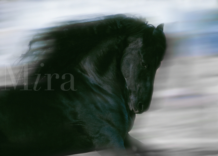 Close up of Friesian Draft Horse running from side.