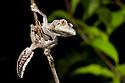 Leaf-tailed gecko {Uroplatus sikorae} hunting invertebrates at night in rainforest, Andasibe-Mantadia National Park, Eastern Madagascar.