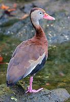 Black-bellied whistling duck, Dendrocygna autumnalis.  Xel Ha Ecological Park, Riviera Maya, Yucatan, Mexico.