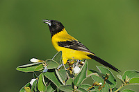 Audubon's Oriole (Icterus graduacauda), adult on Mexican Olive tree (Cordia boissieri), Laredo, Webb County, South Texas, USA