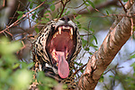 Female Jaguar (Panthera onca palustris) yawning (collared by scientists from the Oncafari Project). Caiman Lodge / Oncafari Project, southern Pantanal, Mato Grosso do Sul State, Brazil.