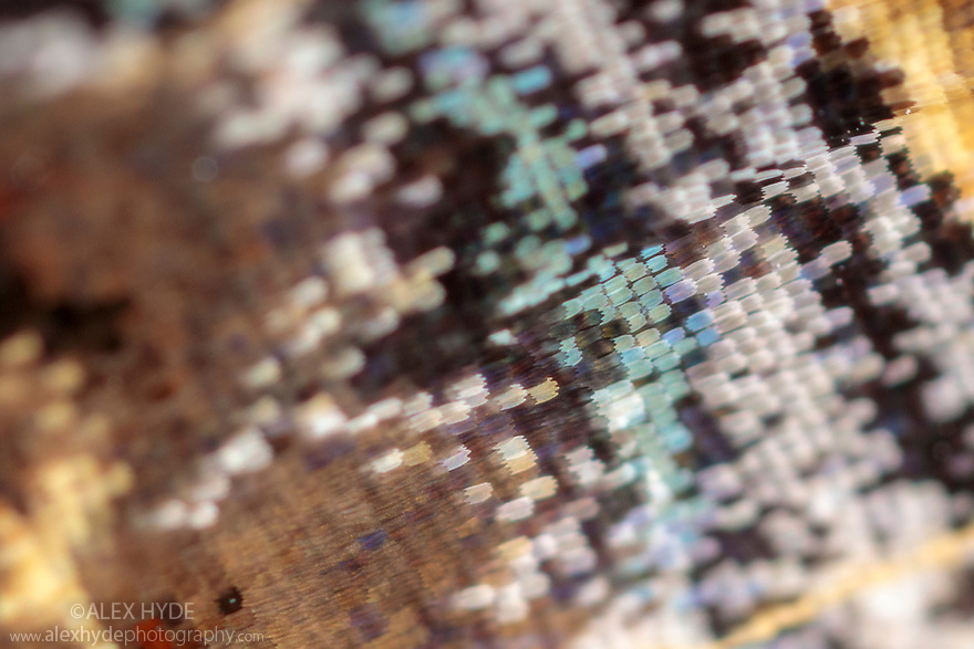 Close-up of scales on underside of Red Admiral butterfly wing {Vanessa atalanta}. Peak District National Park, Derbyshire, UK. August.