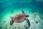 USA, Hawaii, green sea turtle (Chelonia mydas)