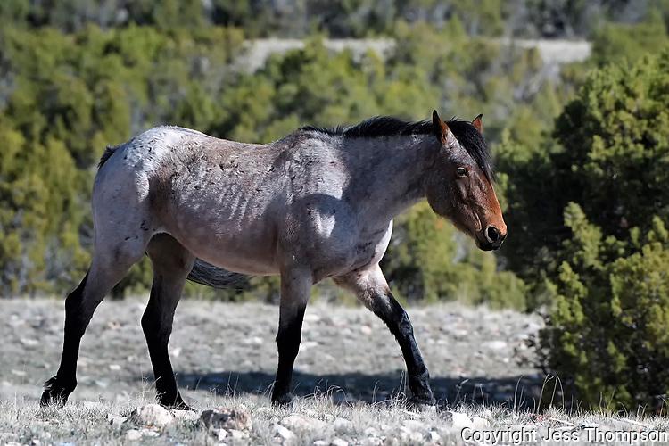 Pryor Mountain Wild Horse, Cody, Wyoming