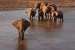 A herd of African elephants drinking water then beginning to cross the Uaso Nyiro River between Samburu and Buffalo Springs National Reserves in Kenya.