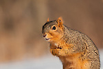 fox squirrel sciurus niger