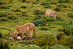 Mountain Lion (Puma concolor) dominant female stalking female feeding on her Guanaco (Lama guanicoe) kill, Torres del Paine National Park, Patagonia, Chile