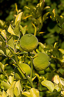Bitter-Orange, Bitterorange, Bitter - Orange, Früchte am Baum, Poncirus trifoliata, Citrus trifoliata, Trifoliate Orange, Orange amère, Poncir