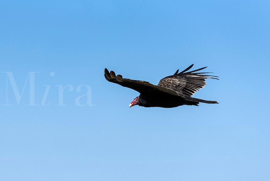 Turkey vulture in flight, Ohio, USA.