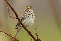 Adult Savannah Sparrow (Passerculus sandwichensis) singing. Seward Peninsula, Alaska. May.