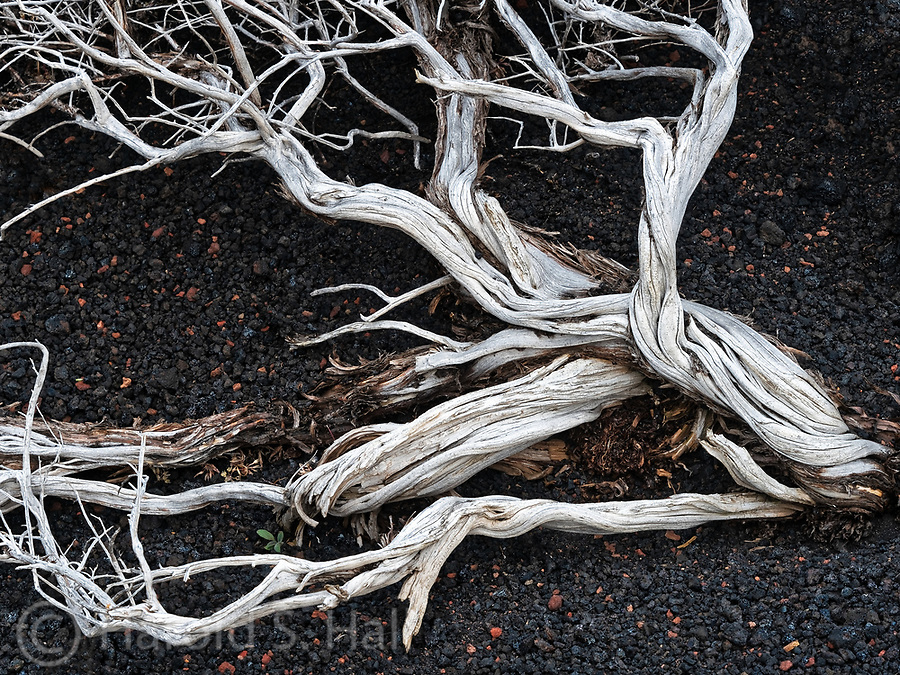 The skeletal remains of an old juniper bush wither away atop a butte at the Craters of the Moon state park in Idaho.