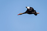 Damon, Texas; a black-bellied whistling duck flying overhead against a blue sky in late afternoon sunlight