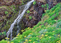 Pungent Desert Parsley (Lomatium grayi) and Catherine Creek with waterfalls. Columbia River Gorge National Scenic Area, Washington