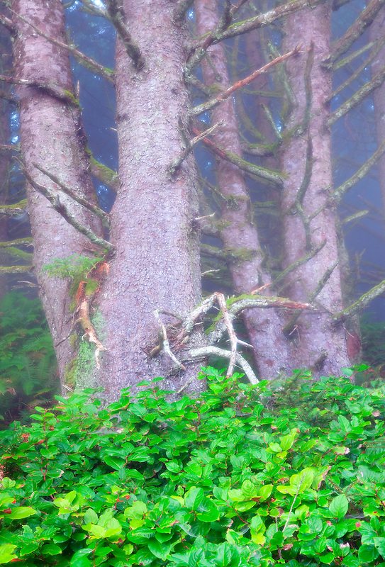 Sitka Spruce trees and Salal bush in fog. Samuel H. Boardman State Scenic Corridor. Oregon
