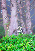 Sitka Spruce trees and Salal bush in fog. Samuel H. Boardman State Scenic Corridor. Oregon