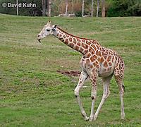 0212-08mm  Reticulated Giraffe, Giraffa camelopardalis reticulata © David Kuhn/Dwight Kuhn Photography