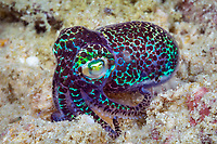 humming-bird bobtail squid, Berry's bobtail squid, Euprymna berryi, Triton Bay, West Papua, Indonesia, Pacific Ocean