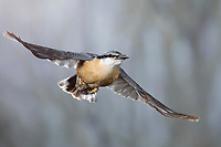 Kleiber, Spechtmeise, Flug, Flugbild, fliegend, mit Vogelfutter im Schnabel, Sitta europaea, Nuthatch, Eurasian nuthatch, wood nuthatch, flight, flying, Sittelle torchepot